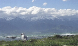 A gull stands watch over the Kaikoura Range, Kean Pt